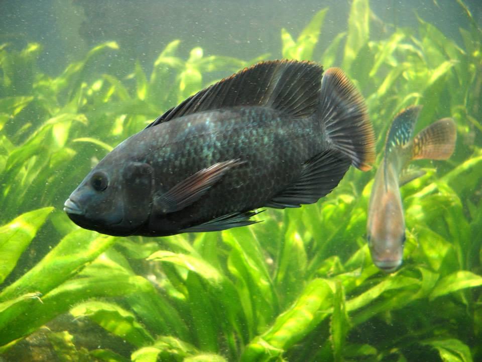 アクアポニックスで選ばれる代表的な魚